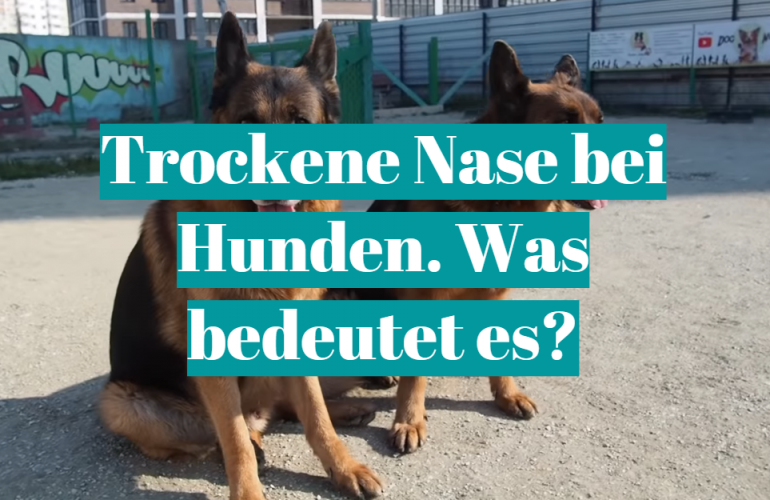Trockene Nase bei Hunden. Was bedeutet es?